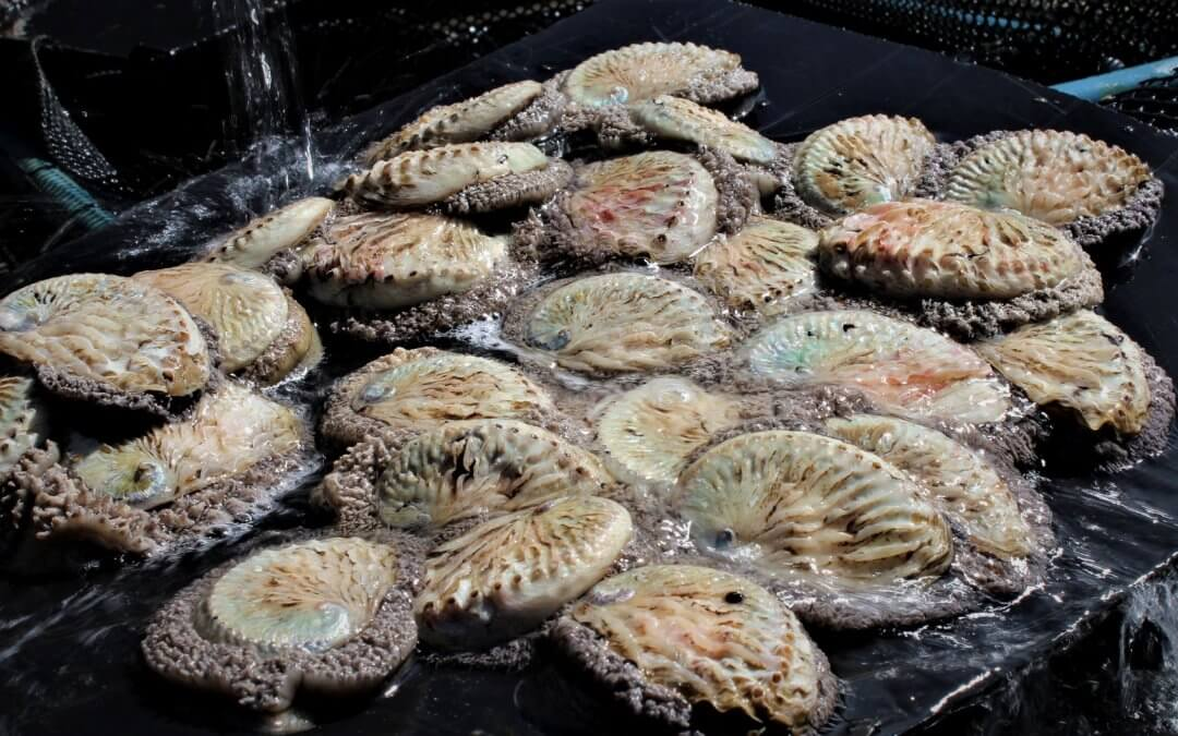 Improve your health with abalone… It's a superfood!